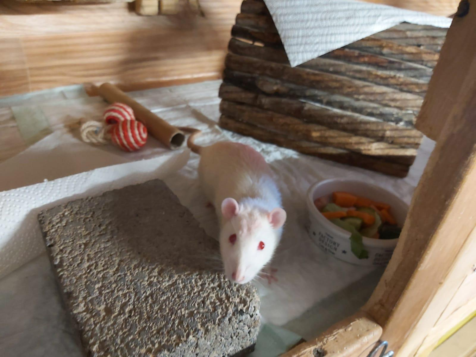 Ratten3