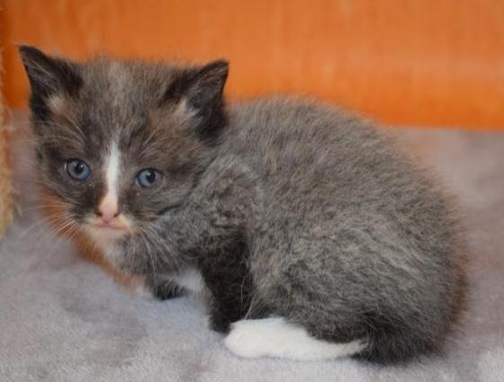 Molly kittten