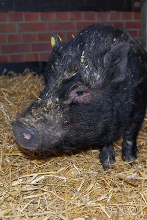 weibliches Schwein