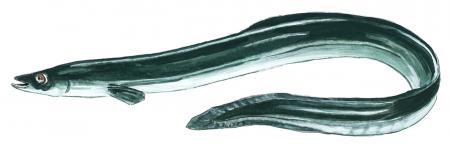 Der Aal -lizenzpflichtiges Fischmotiv gefördert durch das Land Sachsen-Anhalt mit Mitteln der Fischereiabgabe