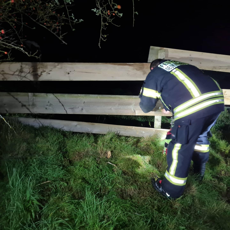 Ausgebüxte Kühe in Ferzing 01.09.2021