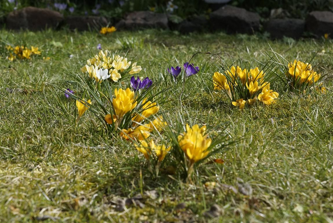 Der Frühling naht in einem Vorgarten in Sieversdorf