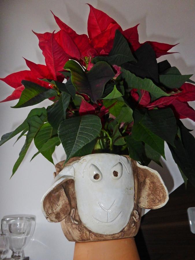 Weihnachtsstern auf Schaf