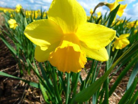 narzissen gelb.jpg