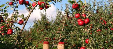 Apfelbuam