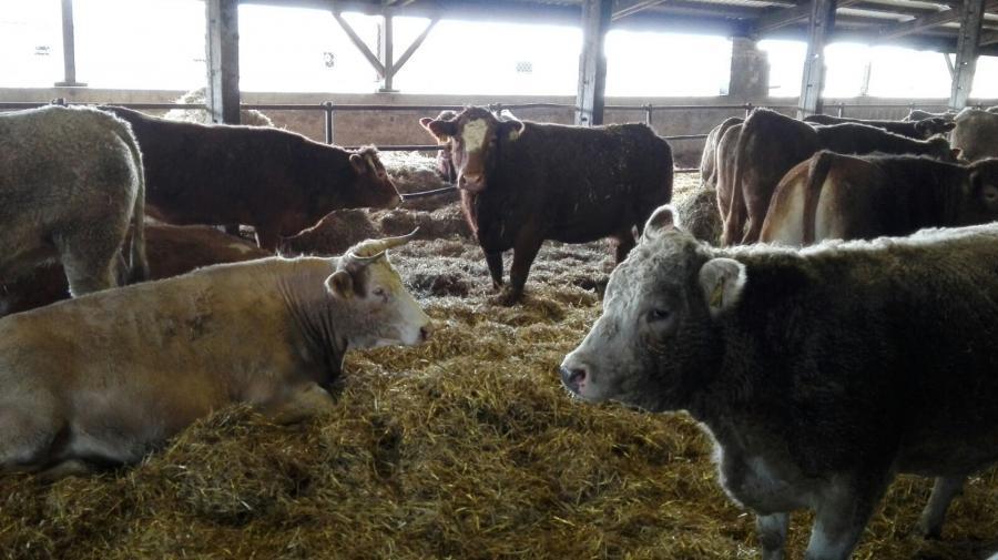 Mutterkühe im Stall