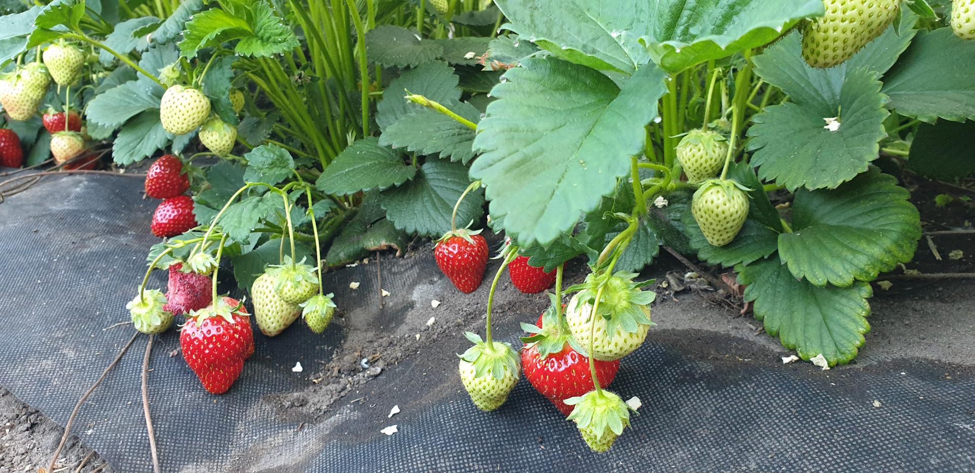 Erdbeeren aus geschütztem Anbau in Fleißdorf