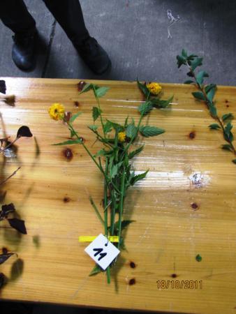 11 Kerria japonica