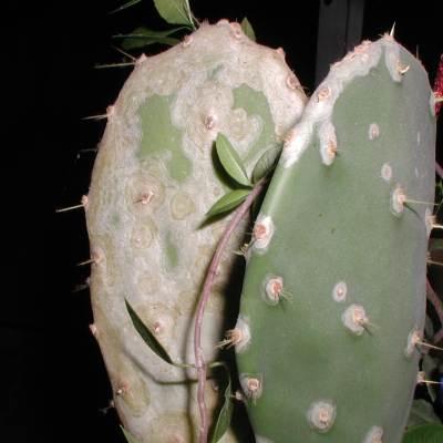 Weichhautmilben an Opuntia