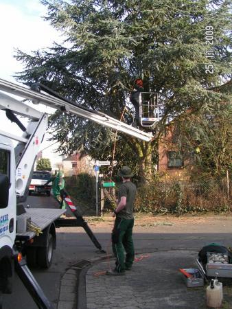 Baumfällung Zeder 1