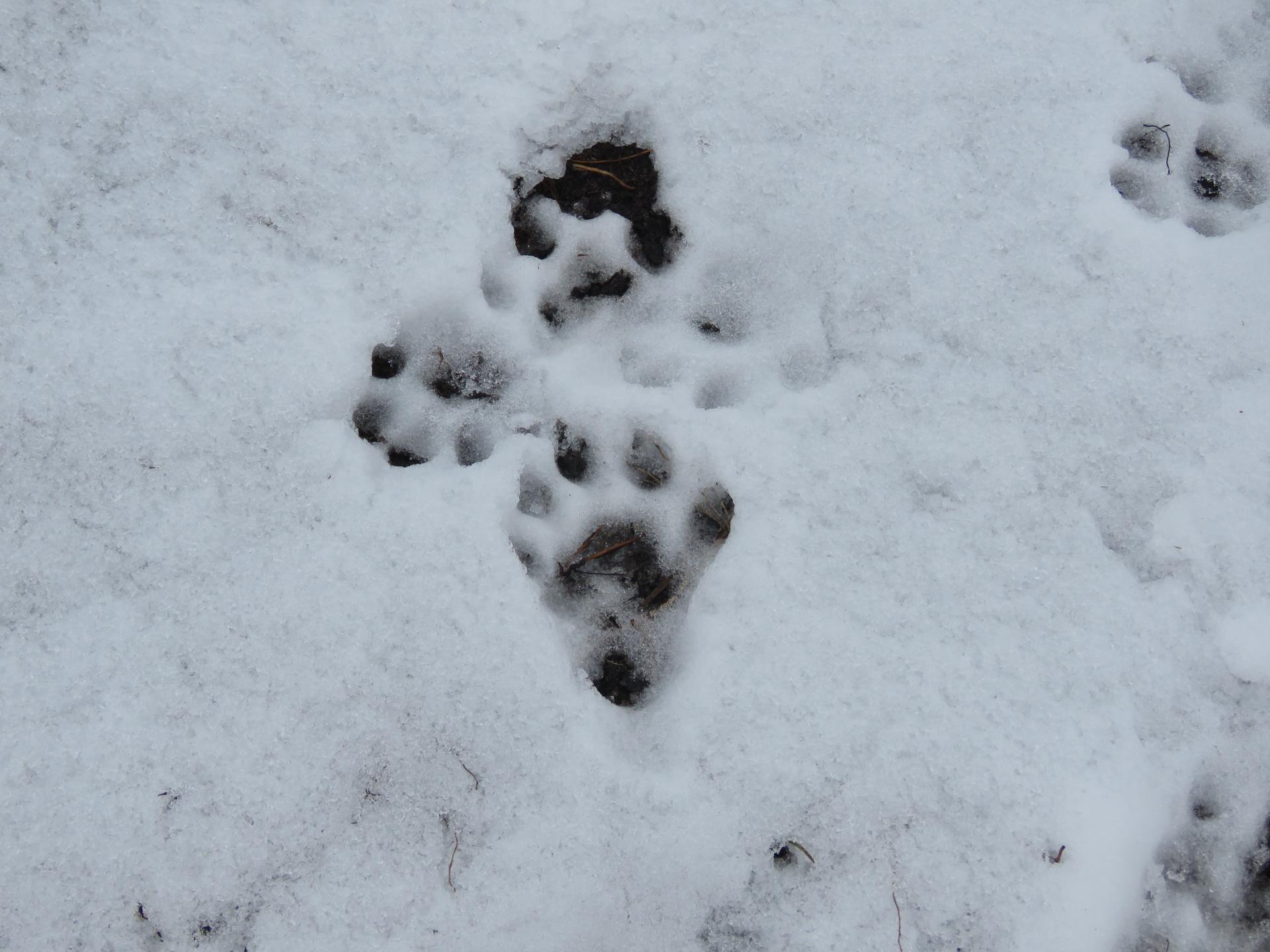 Fischotterspuren im Schnee