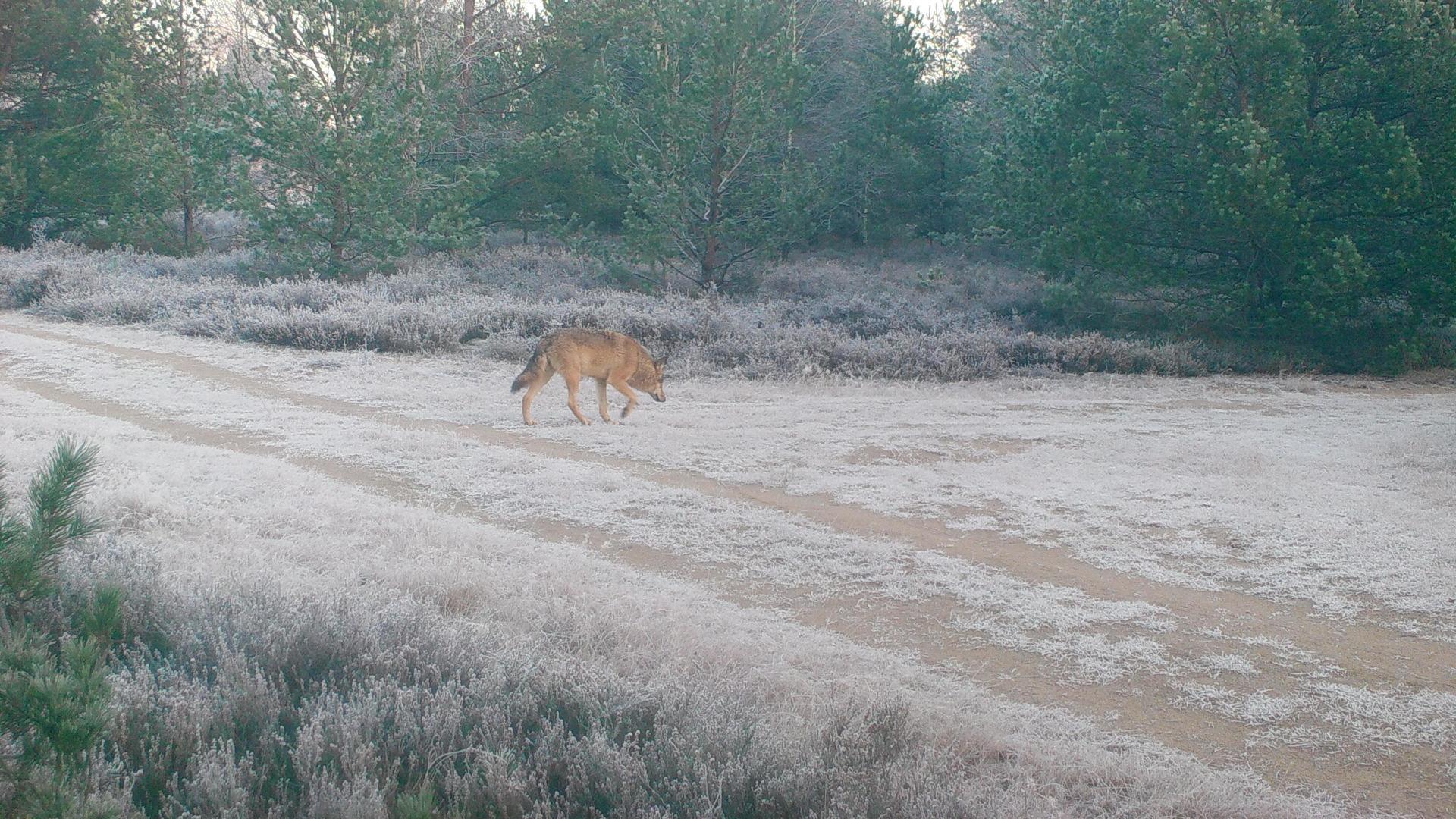 Wolfsmonitoring mit Wildkamera