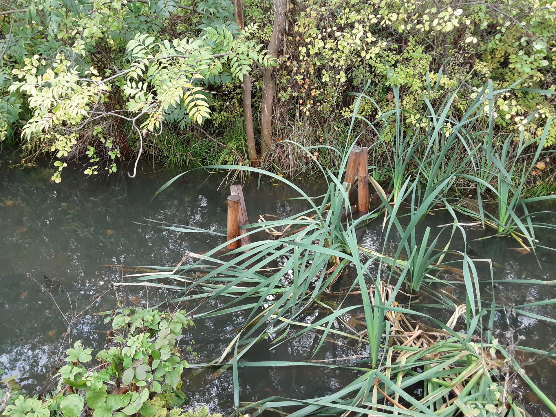 Rohrkolbenbewuchs im Strickgraben