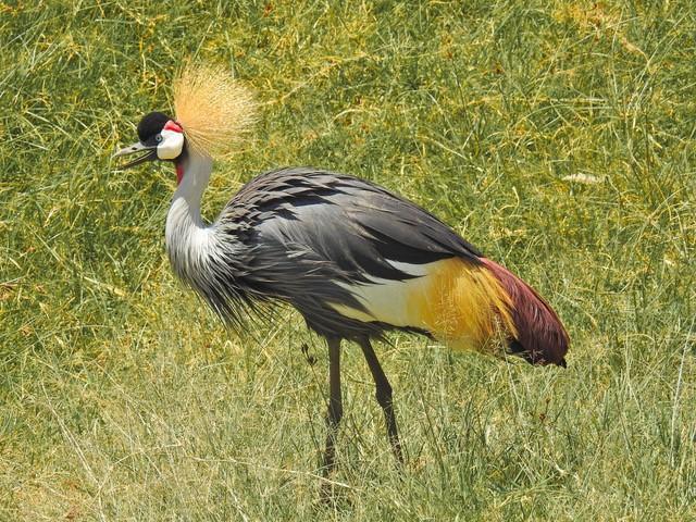 Serengeti - Kronenkranich