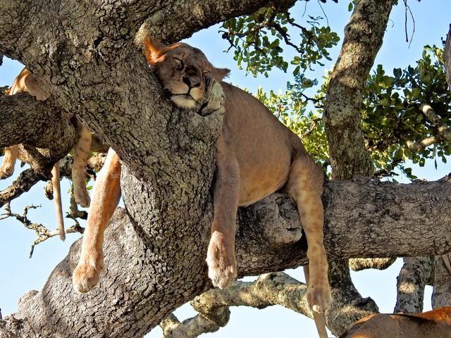 Serengeti - Löwe auf einem Baum
