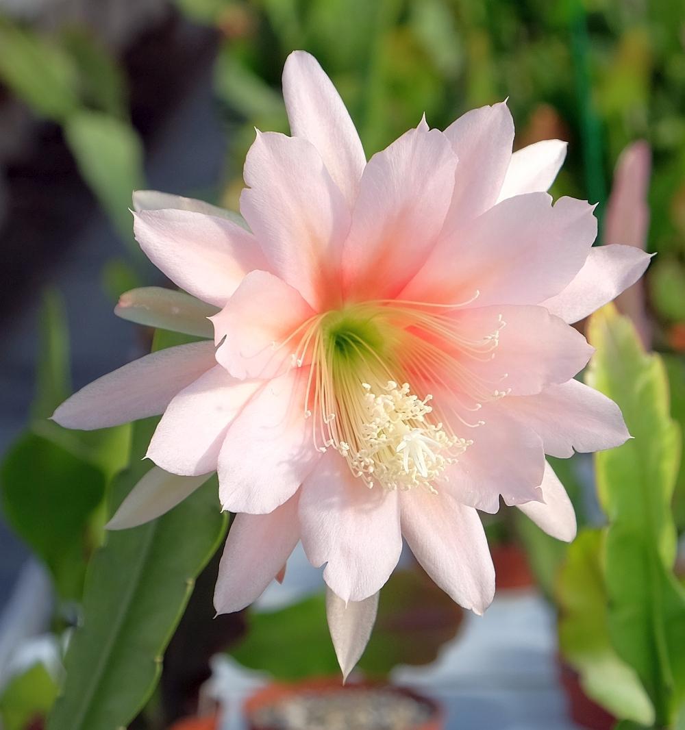 Epiphyllum-Hybr. Argus