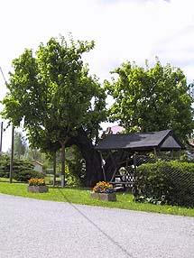1000-Jährige Linde
