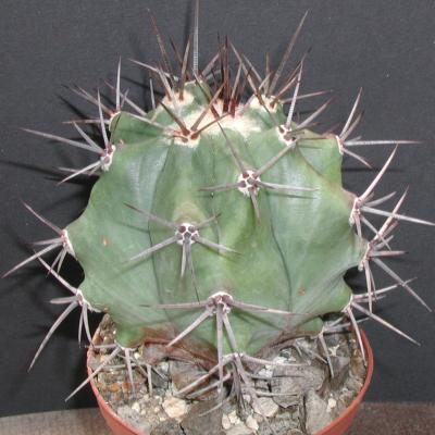 Echinocactus palmeri [platyacanthus].jpg