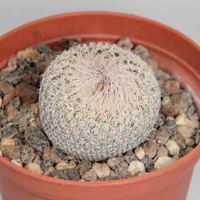 Epithelantha micromeris SB 454.jpg