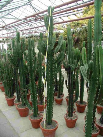 Euphorbia ingens.jpg