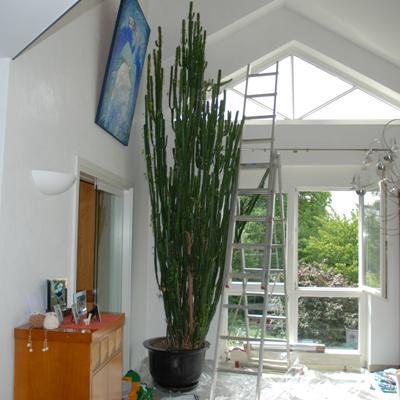 Euphorbia Rückschnitt anfang.jpg