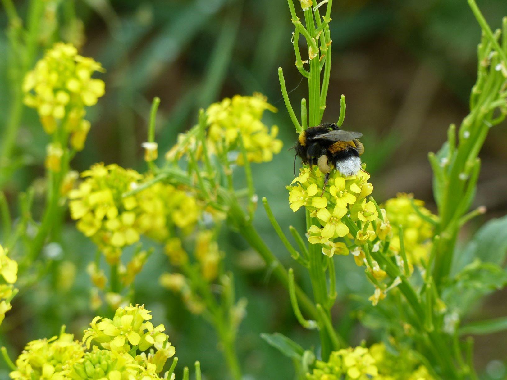 WibiNA - Wildbienen-Netzwerk-Agrarlandschaft