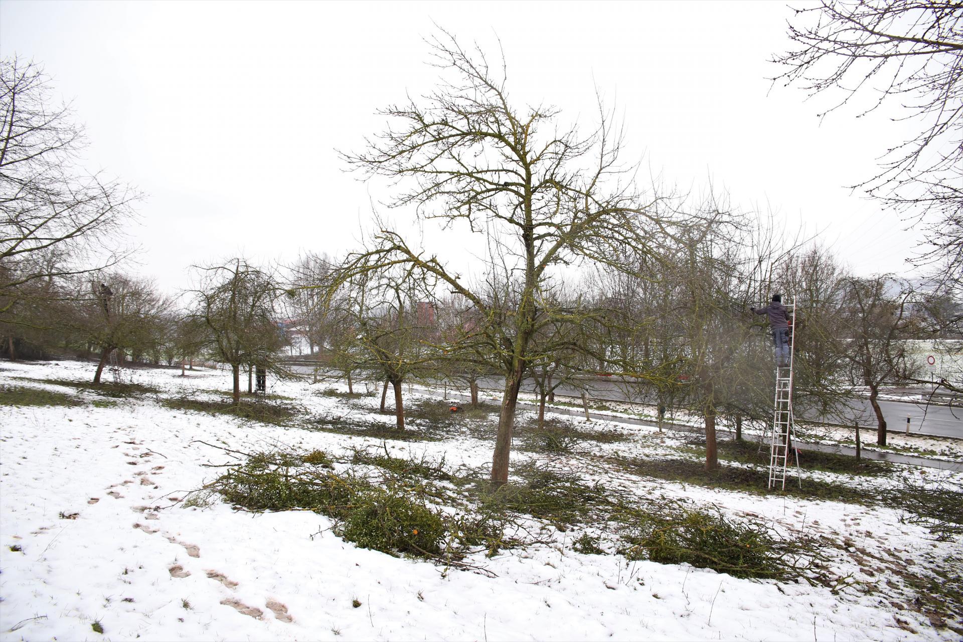 Streuobstschnitt - Frisch geschnittener Baum