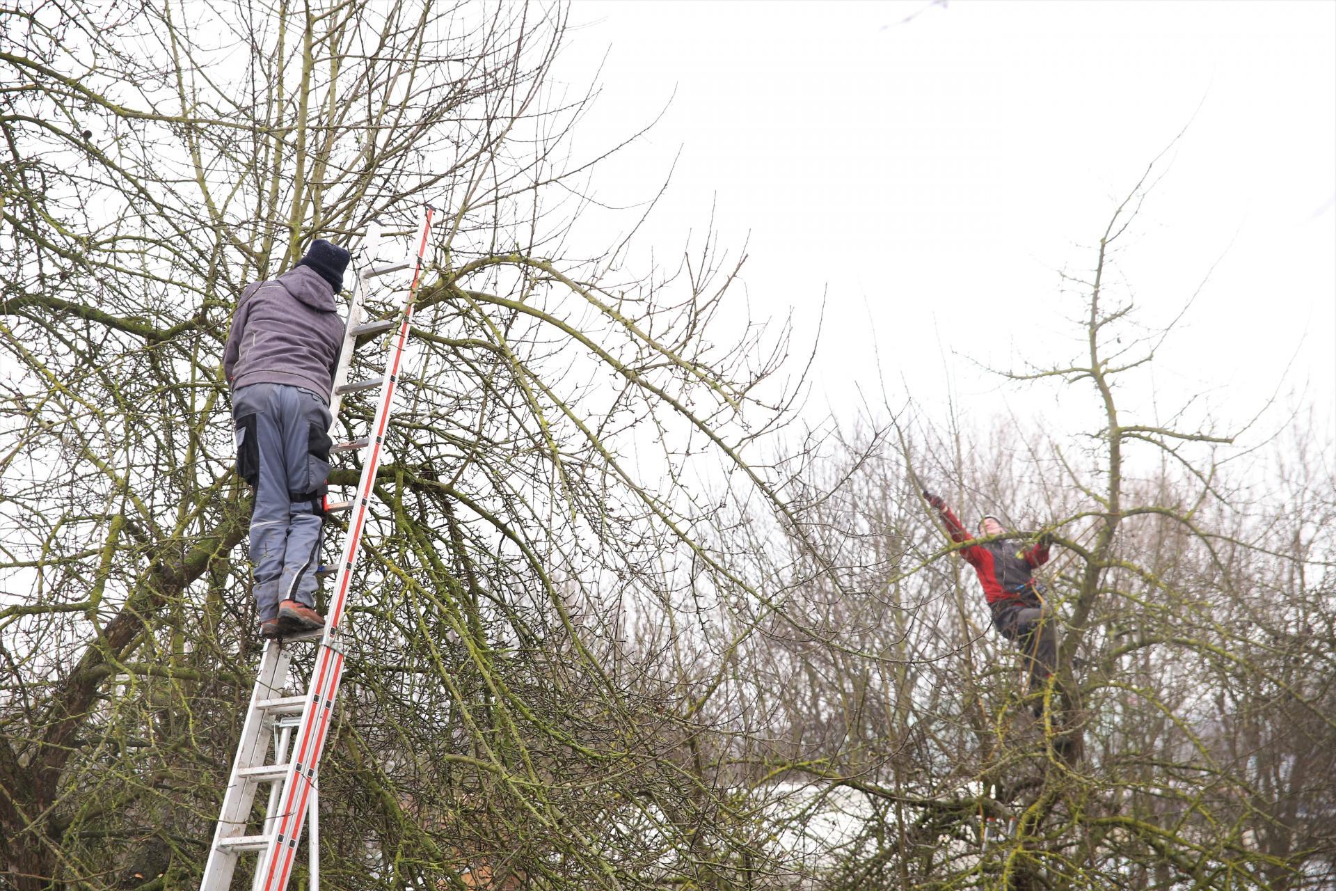 Obstbaumwarte in Aktion