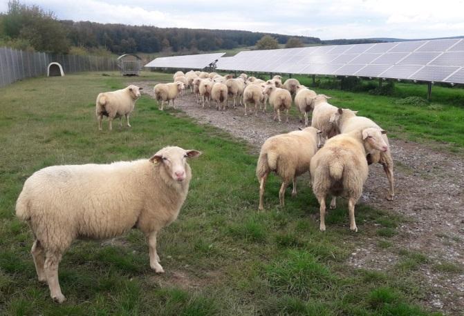 Schafe an der PV-Anlage