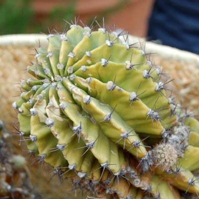 Nährstoffmangel Echinopsis.jpg