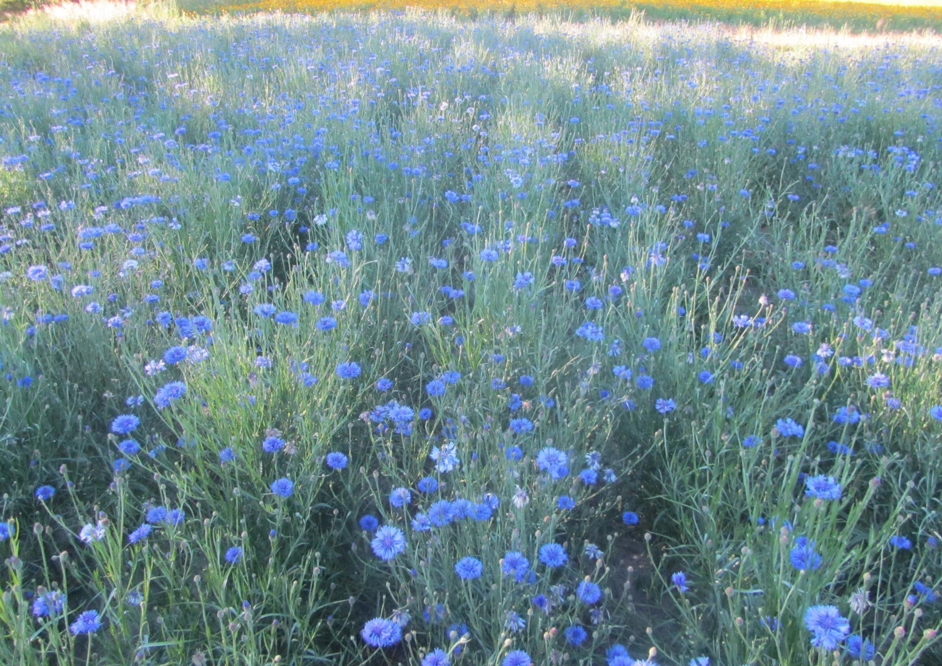 Blaue Blumen
