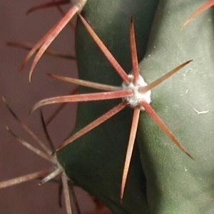 Ferocactus californicus.jpg