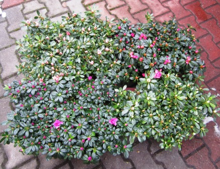 Frühlingsblüher Azaleen.jpg