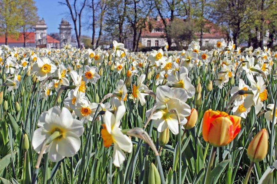 Frühling: Es blüht im Oranienburger Schlosspark ...