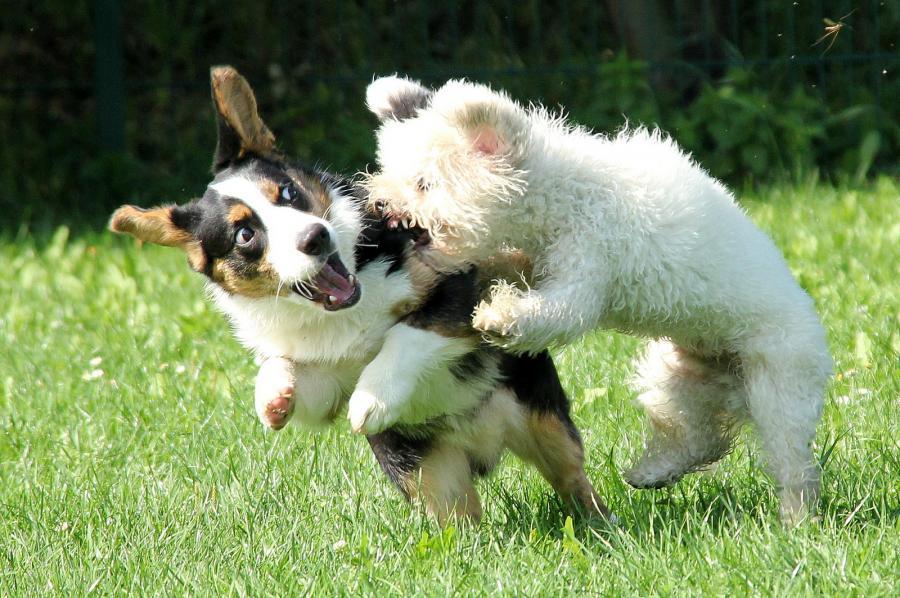 ps Kampfhunde