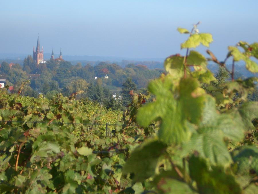 Werderaner Wachtelberg, Foto: Weinverein Werder