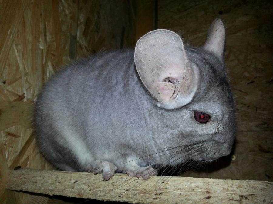 Chinchilla adult
