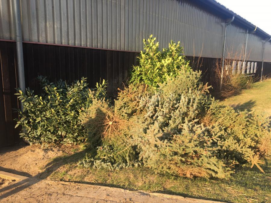 Weihnachtsbäume vor der Halle