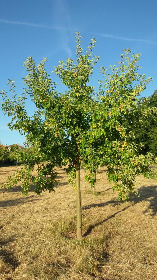 Apfelbaum Zehnjährig