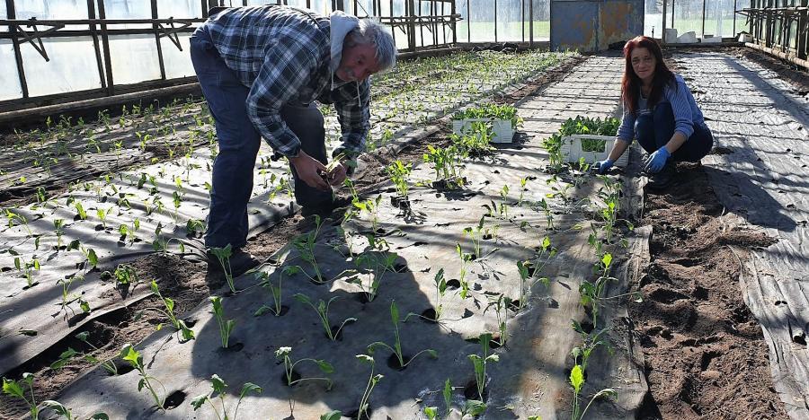 Kohlrabi wird gepflanzt