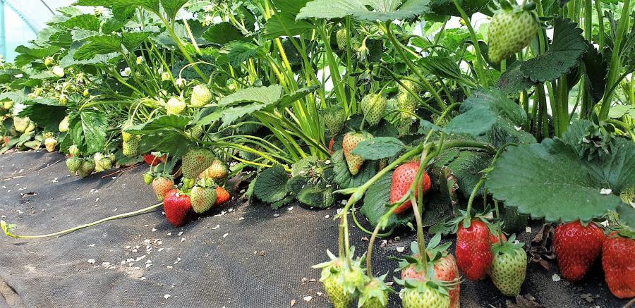 Erdbeeren reifen in Zelten in Fleißdorf