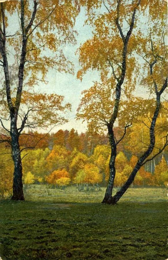 Birken im Walde auf Mönchgut
