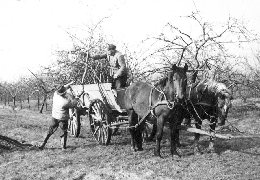 Obstbaumschnitt mit Pferd und Wagen