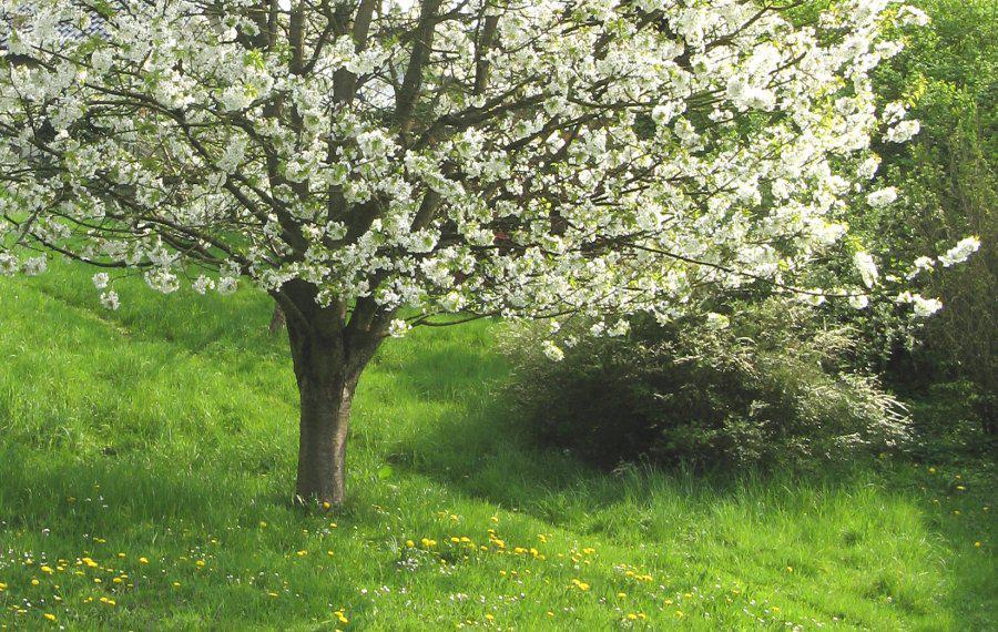 blühender Kirschbaum in Lohmar-Wahlscheid