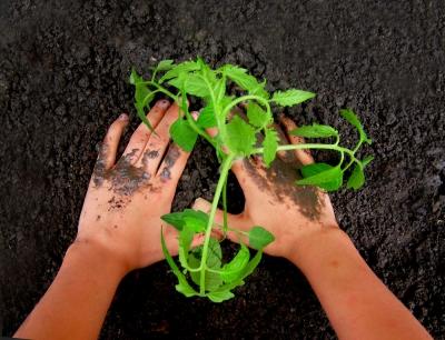 Hände_pflanzen_tomate_pixelio