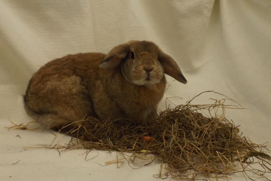 Kaninchen Widder
