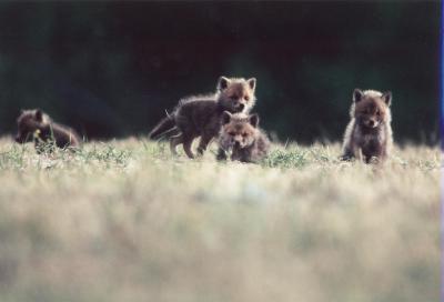 kleine Füchse