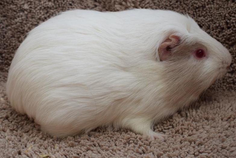 Meeerschweinchen