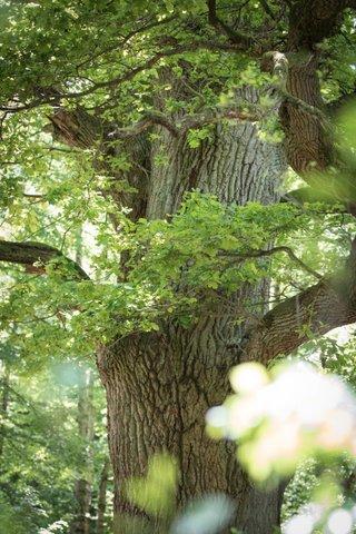 Ehrwürdige alte Bäume