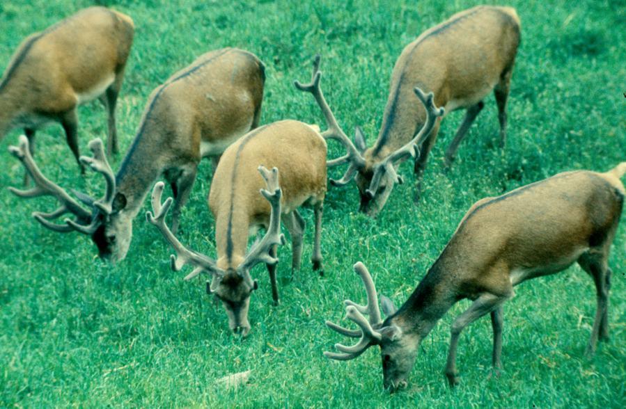 ODIN-Wildäsung, für alle Standorte,Qualität und Masse für das Rotwild